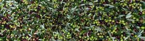 Olive prima della molitura