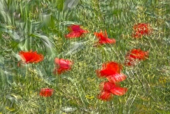 Poppies #3